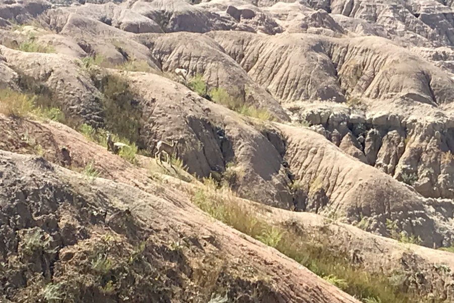 big horn sheep while hiking the badlands