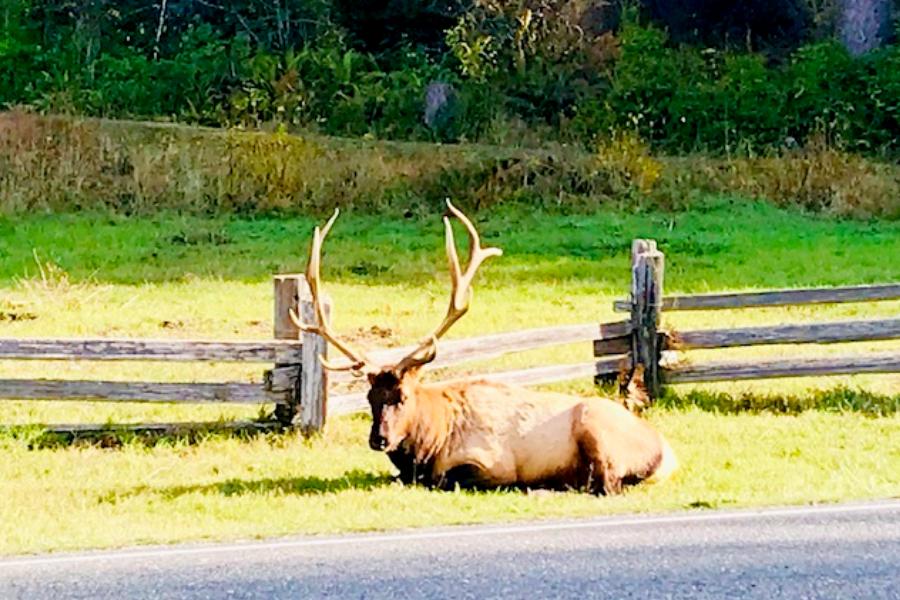 the elk in the Redwoods