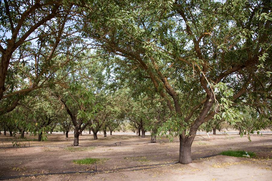nut trees in California