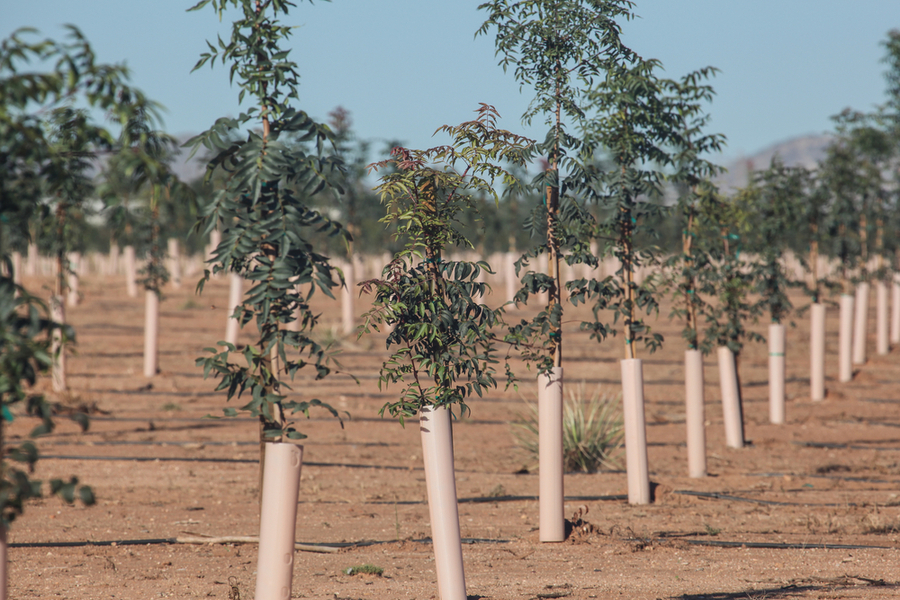 newly planted nut trees