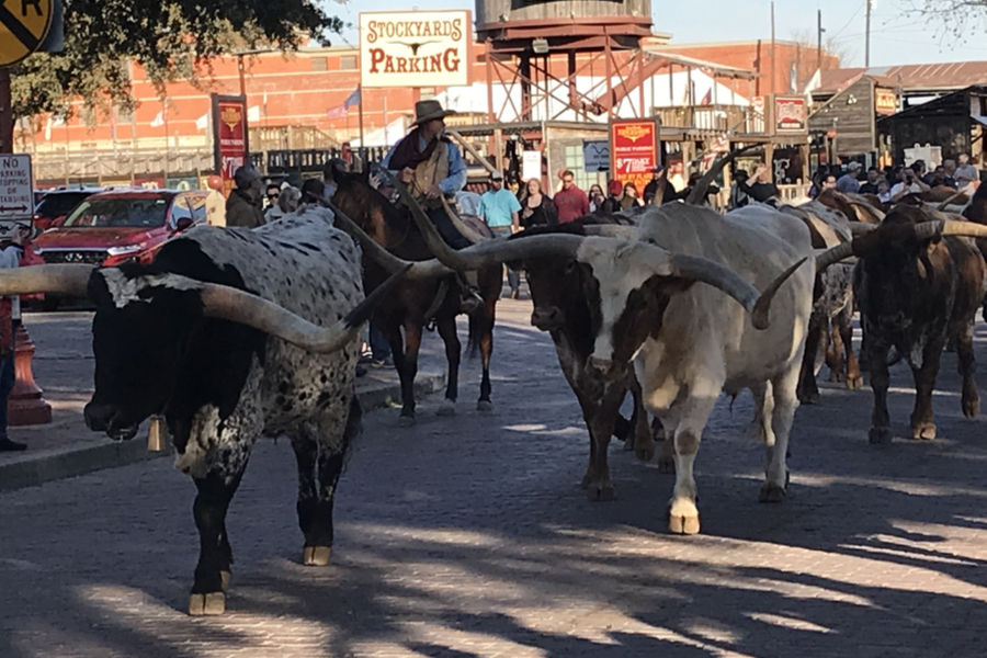 Forth Worth Cattle drive