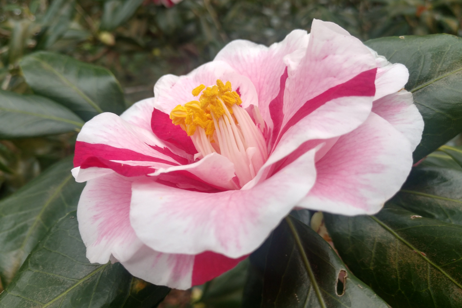 Camellias at Bellingrath